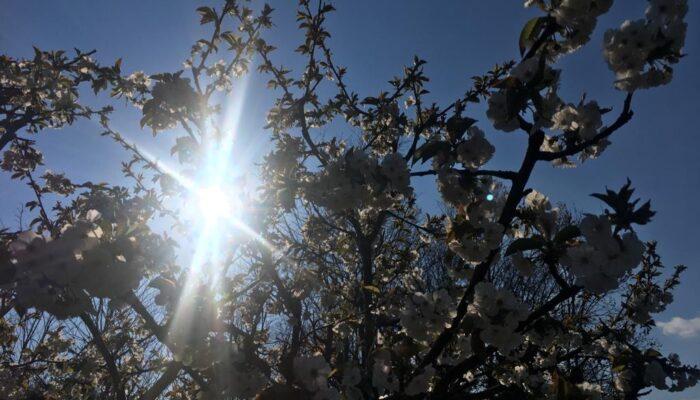 Sole tra i ciliegi